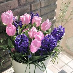 ムスカリ/ヒヤシンス/チューリップ/ガーデニング/花のある暮らし/ガーデン雑貨/... こんばんは☆*:.。.⭐︎  今日は風も…(1枚目)