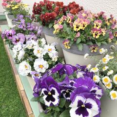 花のある暮らし/レースラベンダー/オステオスペルマム/ブラキカム/マーガレット/人工芝/... 屋上のパンジー&ビオラが元気に咲いていま…(1枚目)