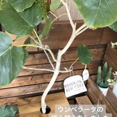 インテリア/ワイン樽/セローム/グリーンのある暮らし/観葉植物のある暮らし/観葉植物/... ウンベラータの植え替えをしてみました🌿 …
