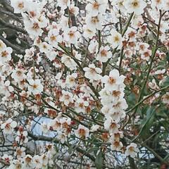 コーヒーメーカー/春、間近/おでかけワンショット 実家の近所で パシャリ📷✨  こんなに咲…