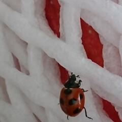 てんとう虫/冬 我が家にてんとう虫が訪問🐞  てんとう虫…