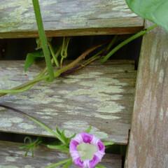 風景 畑にある百合の花  これは夏の終わりに咲…(3枚目)