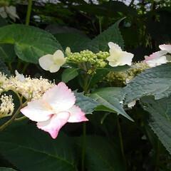 花のある暮らし るっちゃんのみていた紫陽花 上からだと上…(6枚目)