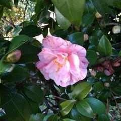 お出かけ 綺麗に咲いていたピンクの椿の花(1枚目)