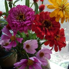 猫/白黒猫/LIMIAペット同好会/にゃんこ同好会/夏のお気に入り/夏の花 ご近所から夏のお花を頂きました  夏真っ…