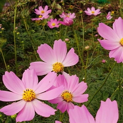 秋の花/コスモス/フォロー大歓迎 秋の桜 コスモスが咲いてました