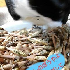 ねこ/猫のいる暮らし/にゃんこ同好会 昨日の夕食に 昼間に採った土筆を頂く前に…(2枚目)