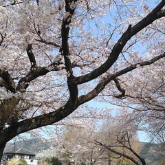 春/桜 うー君の桜が満開になってました(5枚目)