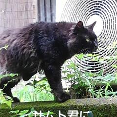 猫のいる生活 昨日 夕方の散歩に行く前な事  黒井さん…(8枚目)