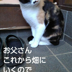 三毛猫/猫のいる生活/にゃんこ同好会/にゃんこ日めくり おはようございます 今日は良い天気です …(2枚目)