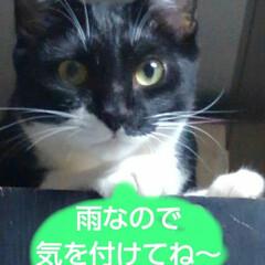 ペット/猫/白黒猫/フォロー大歓迎 おはようございます 今日は台風の影響で雨…