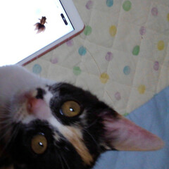 ペット/ゲーム/仲良し/姉弟猫/ねこ/春のフォト投稿キャンペーン/... 3ヶ月になった頃 娘がタブレットでお魚ゲ…