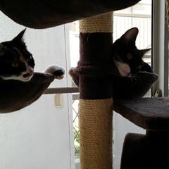 キャットタワー/姉弟猫/フォロー大歓迎/LIMIAペット同好会/にゃんこ同好会/うちの子ベストショット サム 何故か不満顔 気ャットタワーでサラ…(3枚目)