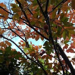 風景/秋 地主さんちの柿を頂きました  富有柿です…(2枚目)