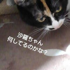 にゃんこ同好会/三毛猫 おやつ待ちの沙羅 お父さんの座席の後ろで…
