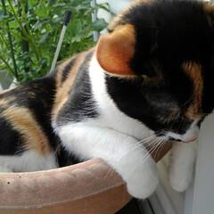 三毛猫/白黒猫/姉弟ねこ/雨季ウキフォト投稿キャンペーン/フォロー大歓迎/LIMIAペット同好会/... 二匹の鉢猫🐱🐱