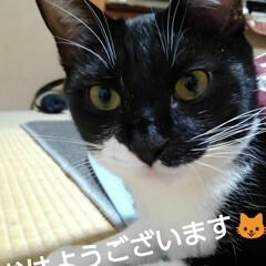 にゃんこ同好会/ご挨拶/白黒猫/フォロー大歓迎 おはようございます🐱 紗夢の金曜日  お…