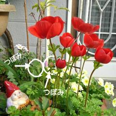 花/花のある生活/ガーデニング/花のある暮らし/ガーデン雑貨/ガーデニング雑貨/... きょうも一日お疲れ様🌸🌸🌸  玄関先に咲…(1枚目)