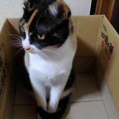 姉弟猫/仲良し/段ボール/いいね/ペット/ねこ/... 段ボール大好きな三匹 空き箱を見つけてす…