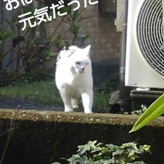 白猫/にゃんこ同好会 ご挨拶が済んで茶の間の窓辺から見ていると…