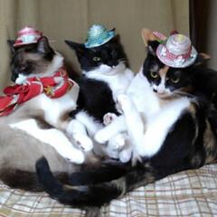 三姉弟/猫/撮影会/仲良し/令和元年フォト投稿キャンペーン/フォロー大歓迎/... 早速被ってみました 人のものが良く見えて…(4枚目)