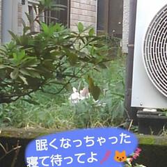 リミアペット同好会/猫/シャム/フォロー大歓迎 すれ違いに待っていた 可愛いカップルの待…(10枚目)