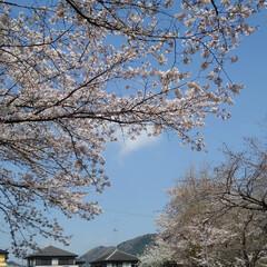 春/桜 うー君の桜が満開になってました(4枚目)