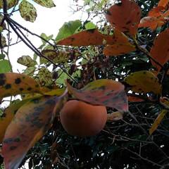 風景/秋 地主さんちの柿を頂きました  富有柿です…(4枚目)