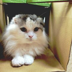 スコテッシュフォールド/いいね/可愛かった愛猫/フォロー大歓迎/LIMIAペット同好会/にゃんこ同好会/... 可愛かった元気な頃のシャロン ご多分に漏…