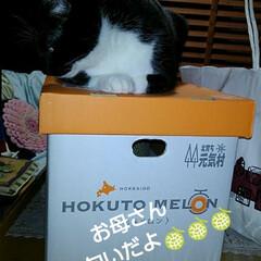 猫がいる生活/にゃんこ同好会 北海道のお嫁ちゃんの 実家からビッグメロ…