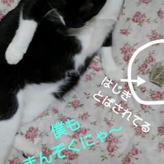 ねこ/猫のいる生活 キャットニップをもらいご機嫌  娘がにゃ…(4枚目)