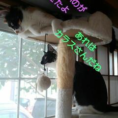 猫/三姉弟/見張り隊/カラス/フォロー大歓迎/LIMIAペット同好会/... 朝の見張り隊の報告  カラスさんが 3に…