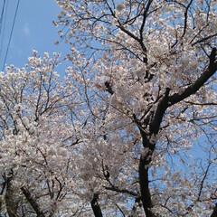 春/桜 うー君の桜が満開になってました(6枚目)