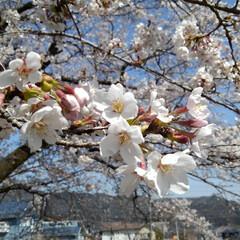 風景/花/花のある暮らし 地主さんの桜 青空によく似合っていた(3枚目)