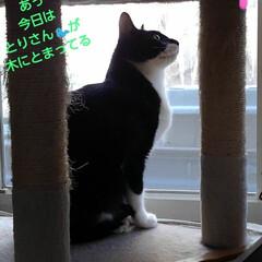 猫/白黒猫/フォロー大歓迎/LIMIAペット同好会/にゃんこ同好会 窓から見える椿の木に 鳥が沢山とまり 紗…