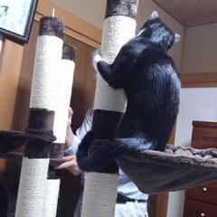 猫/お手伝い/キャットタワー/フォロー大歓迎/にゃんこ同好会/夏のお気に入り 去年8ヶ月になった頃 二階のキャットタワ…