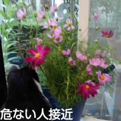 フラワー/風景/花のある暮らし お隣から秋(コスモス)を頂きました 倒す…(2枚目)