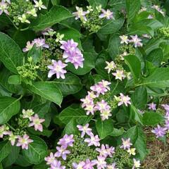 初夏の花 地主さんの紫陽花が綺麗に咲いてました 🌸…