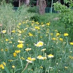 花のある暮らし/風景 昨日の畑の風景  地主さんの春菊が マー…