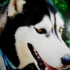 マリちゃん/ハスキー犬/フォロー大歓迎/わんこ同好会 今いるウイングの前にいたハスキー犬の マ…