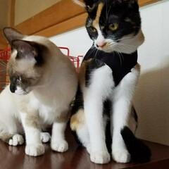 猫/お手伝い/キャットタワー/フォロー大歓迎/にゃんこ同好会/夏のお気に入り 去年8ヶ月になった頃 二階のキャットタワ…(10枚目)