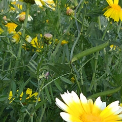 花のある暮らし/風景 昨日の畑の風景  地主さんの春菊が マー…(4枚目)