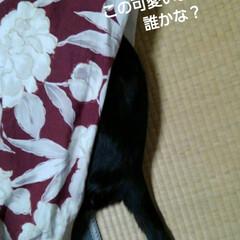 にゃんこ同好会/白黒猫/こたつ/フォロー大歓迎/リミアの冬暮らし 頭「隠して尻隠さず」です