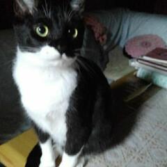猫の気持ち/猫のいる生活/白黒猫 私が具合の悪いときに 紗夢が心配そうに見…