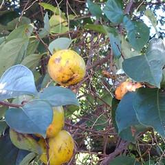 柿/秋/フォロー大歓迎 実りの秋 柿が美味しそうになってました(2枚目)