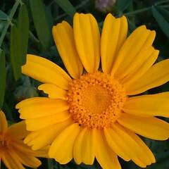 花のある暮らし/風景 昨日の畑の風景  地主さんの春菊が マー…(3枚目)