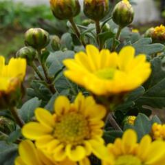 秋の花 畑で咲いてる小さな菊の花 今日も雨の中で…