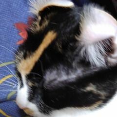 三毛猫/白黒猫/姉弟 いたずらされちゃいました  母の膝に乗る…(3枚目)