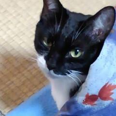 白黒猫/猫のいる暮らし 昨日の紗夢 おこたからひょっと顔を出して…(2枚目)