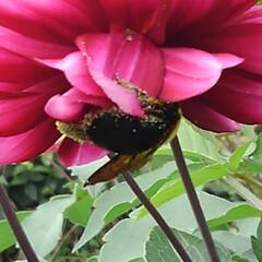 秋の花/フォロー大歓迎 綺麗なダリア 喜ぶのは人間だけではない …